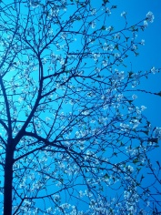 Right before I left for NYC I caught the cherry blossoms in High Park. EVERYONE is looking up there....